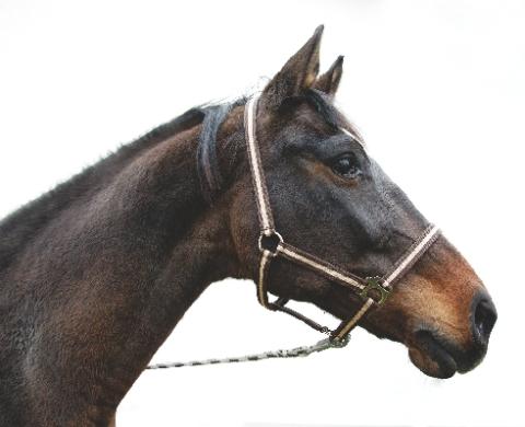 Ohlávka pro koně nylonová Hippo velikost 00 barva bordó/béžová