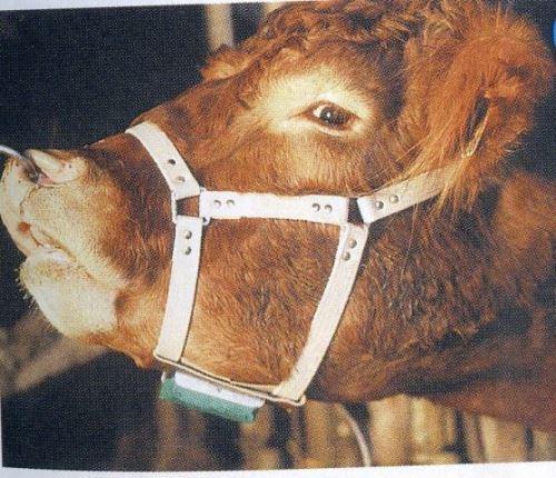Býčí ohlávka kožená pro značení krav v říji